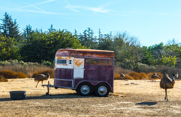 weathered horse trailer in a dirt field surrounded by ostriches