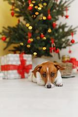 Cute dog near Christmas tree branch.