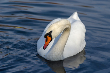 A beautiful white swan with drops of water on feathers floats in the river
