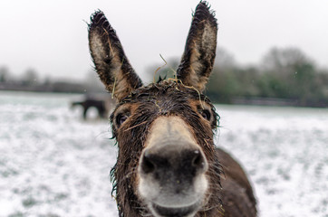 Portrait of a curious donkey in winter