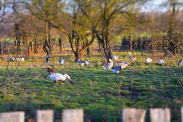 ptaki domowe hodowlane