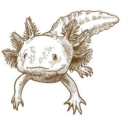 engraving  antique illustration of axolotl