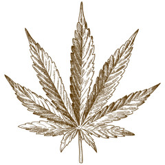 engraving drawing illustration of cannabis leaf