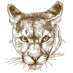 engraving illustration of cougar head