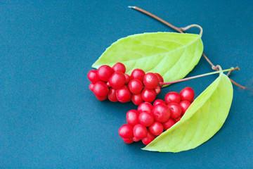 red berries of schisandra on the blue Fototapete