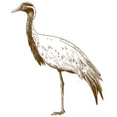engraving drawing illustration of demoiselle crane