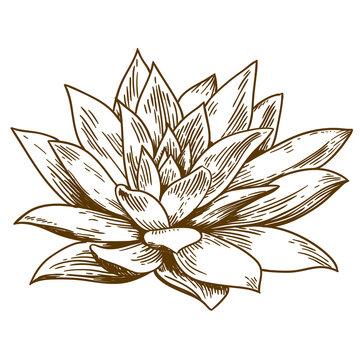 engraving illustration of succulent echeveria