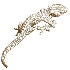 engraving illustration of gecko
