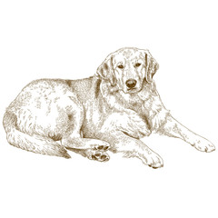engraving  illustration of labrador