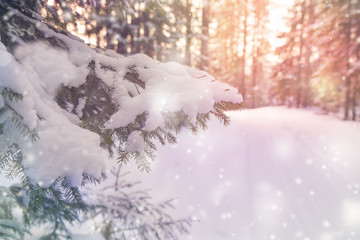 Branch of spruce sprinkled with snow, a beautiful winter background with flying snow, bokeh