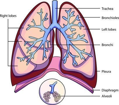 The structure of a lung with labeled parts. Biology vector illustration
