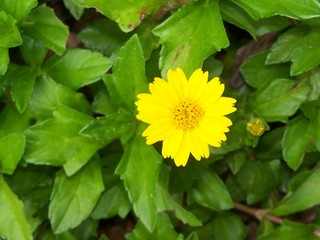 Trailing yellow daisy flower groundcover