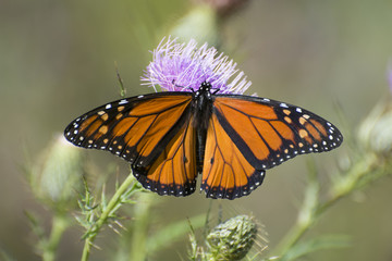 Butterfly 2017-142 / Monarch butterfly on thistle
