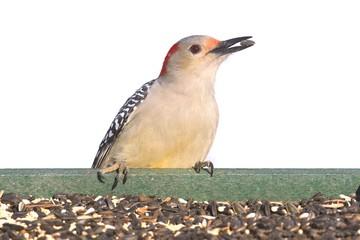 Fotoväggar - Female Red-bellied Woodpecker (Melanerpes carolinus)