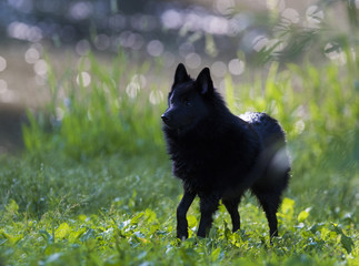 schipperke dog in summer