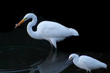 Egret Feeding California Coast