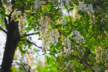 Flowering tree Robinia pseudoacacia, or false acacia, or black locust