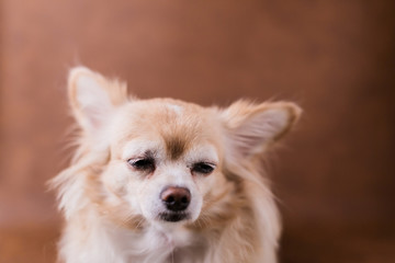 sad face brown chihuahua portrait on brown leather background