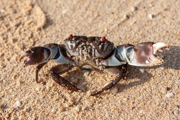 Crab with opened claws looking into camera on sandy beach. Version 2.
