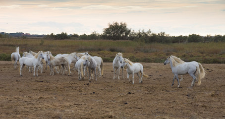 A Herd of White Camargue Horses bathed in golden light with cloudy sky in the background and a pasture in the foreground.