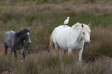 Adult and Young Camargue Horses with Cattle Egret riding on the white adult horse's back. They are walking through a grassy field.