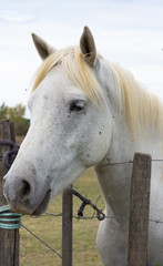 Close Up of a White Camargue horse standing at a barbed wire fence. He is shown in profile with his head facing left.