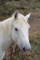 Close Up of a White Camargue Horse's Face on the Left. Flies are on the horse's face. His ears are alert.
