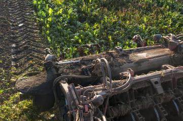 harvesting of sugar beets