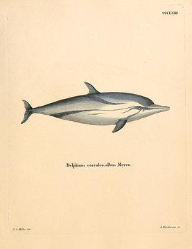 Illustration of marine mammal.