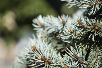 Blue fir tree beautiful background
