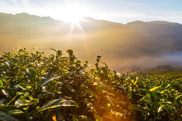 Sunrise morning in tea plantation field on mountain
