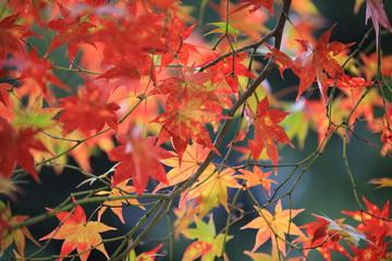 red maple in kyoto garden