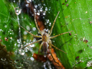 Spiders are on the spider web on leaves. There are drops of water on the spider web.
