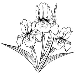 Hand drawn iris flower. Sketch vector