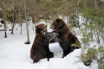 Bear in winter time