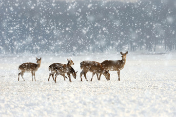 Deer in winter time