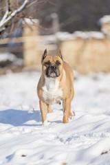 american staffordshire terrier dog portrait. amstaff pets background