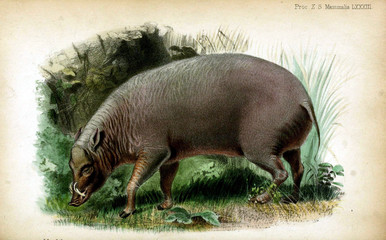 Illustration of pigs