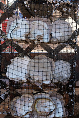 White Mother of Pearl shell cultivation period