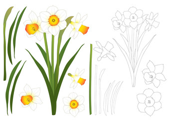 Daffodil - Narcissus Outline