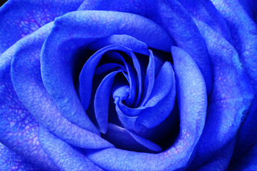 Details of blue flower rose