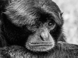 Siamang Black-Furred Gibbon Portrait