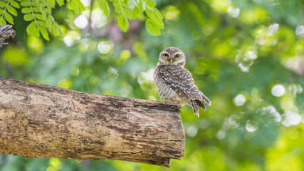 Bird (Spotted owlet, Owl) in a nature wild