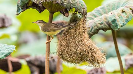 Bird (Plain Prinia) build bird nest in the nature