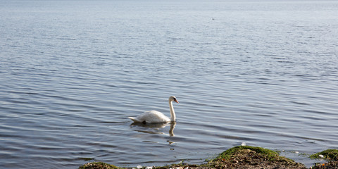 Panoramic view of a swan on the lake