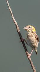 Bird (Streaked weaver) on tree in a nature wild