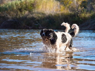 landseer water work rescue dog