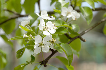 Flowers of a pear in a spring sunny day. Background is green and white.