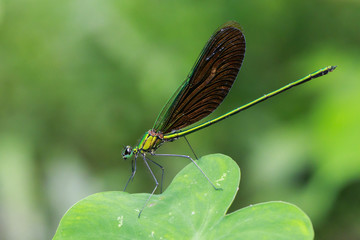Image of beautiful dragonfly (Neurobasis chinensis chinensis) on green leaves. Insect. Animal