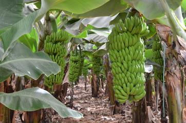 Plantation sous bâches de bananes naines au Sud de l'île de Tenerife, Canaries